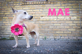 Mae - Chihuahua Dog For Adoption