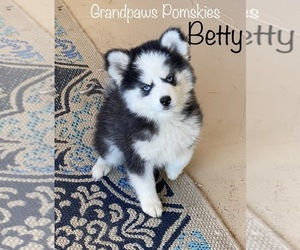 Pomsky Puppy for Sale in CASA GRANDE, Arizona USA