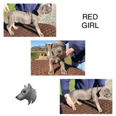 Cane Corso Puppy For Sale in EAGLE POINT, OR, USA