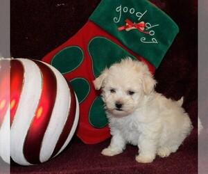 Maltipoo Dog for Adoption in CASSVILLE, Missouri USA
