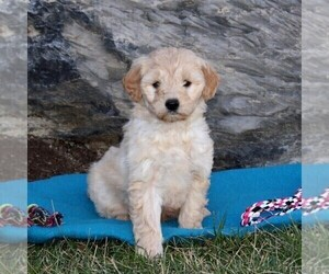 Goldendoodle (Miniature) Puppy for sale in STRASBURG, PA, USA