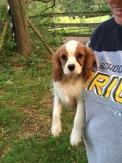 Cavalier King Charles Spaniel Puppy for sale in PARIS, OH, USA