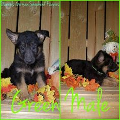 German Shepherd Dog Puppy For Sale in CARTHAGE, MO, USA