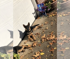 German Shepherd Dog Puppy for Sale in EAGLE CREEK, Oregon USA