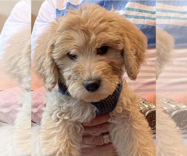 Medium Photo #2 Labradoodle Puppy For Sale in MARBLE FALLS, TX, USA