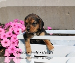 Beagle Puppy for sale in HOPKINSVILLE, KY, USA