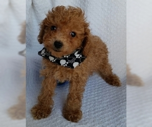 Poodle (Toy) Puppy for sale in BUFFALO, MO, USA