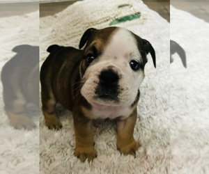 English Bulldog Puppy for sale in SPRING VALLEY, CA, USA