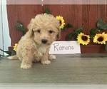 Puppy 4 Bichpoo