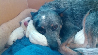 Australian Cattle Dog Puppy For Sale in EFLAND, NC, USA