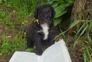 Aussiedoodle Puppy For Sale in JASPER, NY, USA