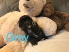 Poodle (Toy) Puppy For Sale in LOS ANGELES, CA,