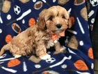 Cavapoo Puppy For Sale in EAST EARL, PA, USA