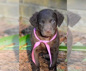 Chesapeake Bay Retriever Puppy for Sale in RIDGELAND, Mississippi USA