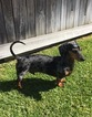 Dachshund Dog For Adoption in Hesperia, CA