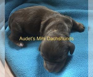 Dachshund Puppy for sale in BRANDON, VT, USA