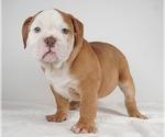 Small Photo #6 Bulldog Puppy For Sale in NAPPANEE, IN, USA