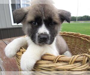 Akita Puppy for sale in NORTHVILLE, MI, USA