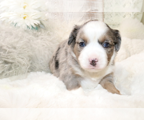 Medium Photo #10 Australian Shepherd Puppy For Sale in STAFFORD, VA, USA
