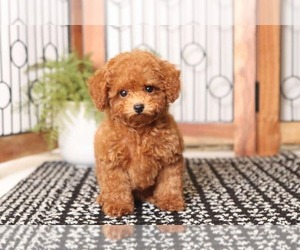 Poodle (Toy) Puppy for Sale in NAPLES, Florida USA