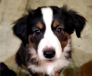 Miniature Australian Shepherd Puppy for Sale in JENNINGS LODGE, Oregon USA