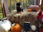 Rottweiler Puppy For Sale in MORGANTOWN, PA, USA