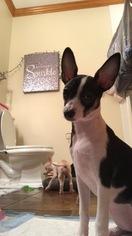 Chihuahua Puppy For Sale in BRISTOL, TN, USA