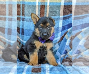 German Shepherd Dog Puppy for sale in ELKTON, MD, USA