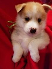 Pomsky Puppy For Sale in CENTRALIA, MO, USA