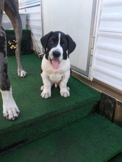 Great Dane Puppy For Sale in FORT MYERS, FL, USA