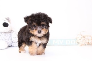 Yorkie-Poo Puppy For Sale in NAPLES, FL
