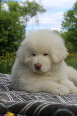 Tibetan Mastiff Puppy for sale in DRESHER, PA, USA