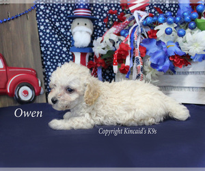 Poodle (Toy) Puppy for Sale in CHANUTE, Kansas USA