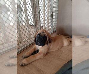 Mastiff Puppy for Sale in TONOPAH, Arizona USA