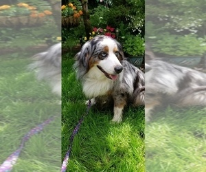 Australian Shepherd Puppy for sale in DUVALL, WA, USA