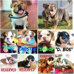 Bulldog Puppy For Sale in HACIENDA HEIGHTS, CA
