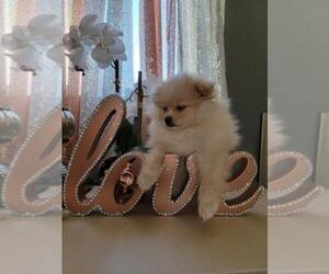 Pomeranian Puppy for sale in BRENTWOOD, CA, USA