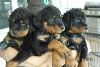 View Ad Rottweiler Puppy For Sale Texas Bruceville Usa