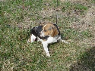 Father of the Beagle puppies born on 10/12/2016