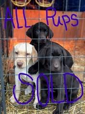 Labrador Retriever Puppy For Sale in EATONVILLE, WA, USA