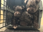 Schnauzer (Miniature) Puppy For Sale in ATOKA, TN, USA