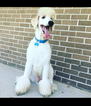 Labradoodle Puppy For Sale in COLUMBIA, SC