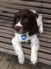 English Springer Spaniel Puppy For Sale in MORGANTOWN, WV
