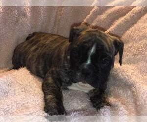 English Bulldogge Puppy for Sale in PUYALLUP, Washington USA