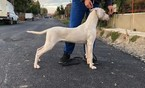 Dogo Argentino Puppy For Sale in Cluj-Napoca, Cluj, Romainia