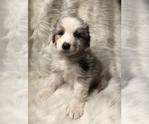 Australian Shepherd Puppy for sale in BEECH GROVE, IN, USA
