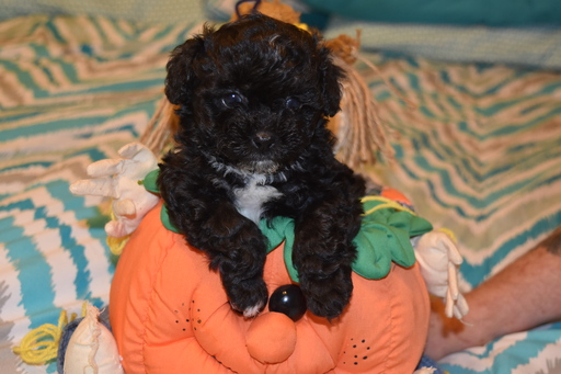 ShihPoo Mix puppy
