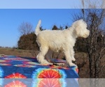 Small #17 Goldendoodle