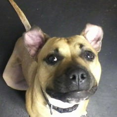 Stewie - American Staffordshire Terrier / Boxer / Mixed (short coat) Dog For Adoption