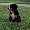 Bernese Mountain Dog Puppy For Sale in ATWOOD, IL, USA